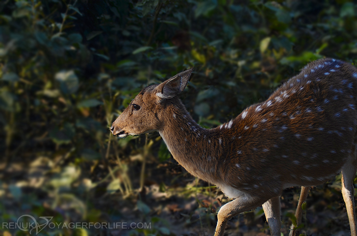 Deers at Dudhwa National park