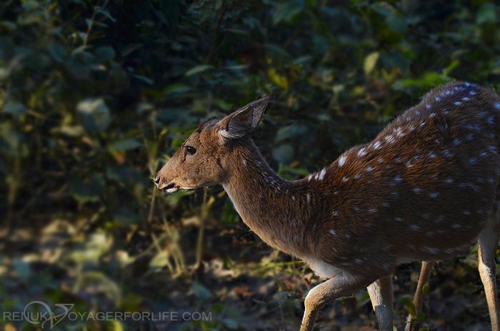 Deers at Dudhwa National park