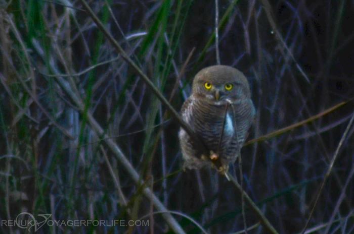 Owls at Dudhwa National park