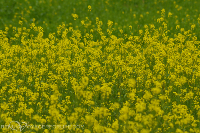 Mustard flowers in India