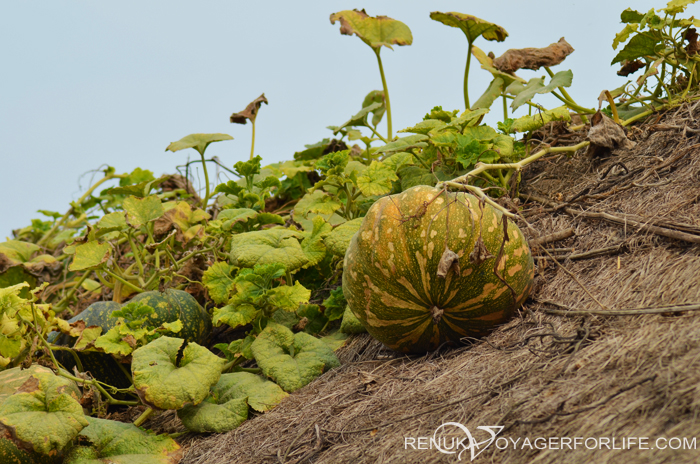 Pumpkins on hut rooftops